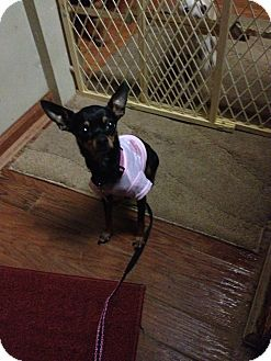 Crown Point, IN - Chihuahua. Meet Bambi, a dog for adoption. http://www.adoptapet.com/pet/14027018-crown-point-indiana-chihuahua