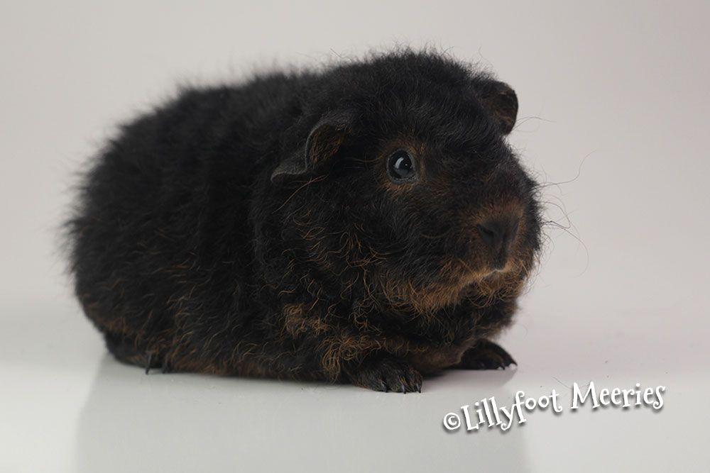 US Teddy Meerschweinchen in SchwarzRotLoh (BlackTan