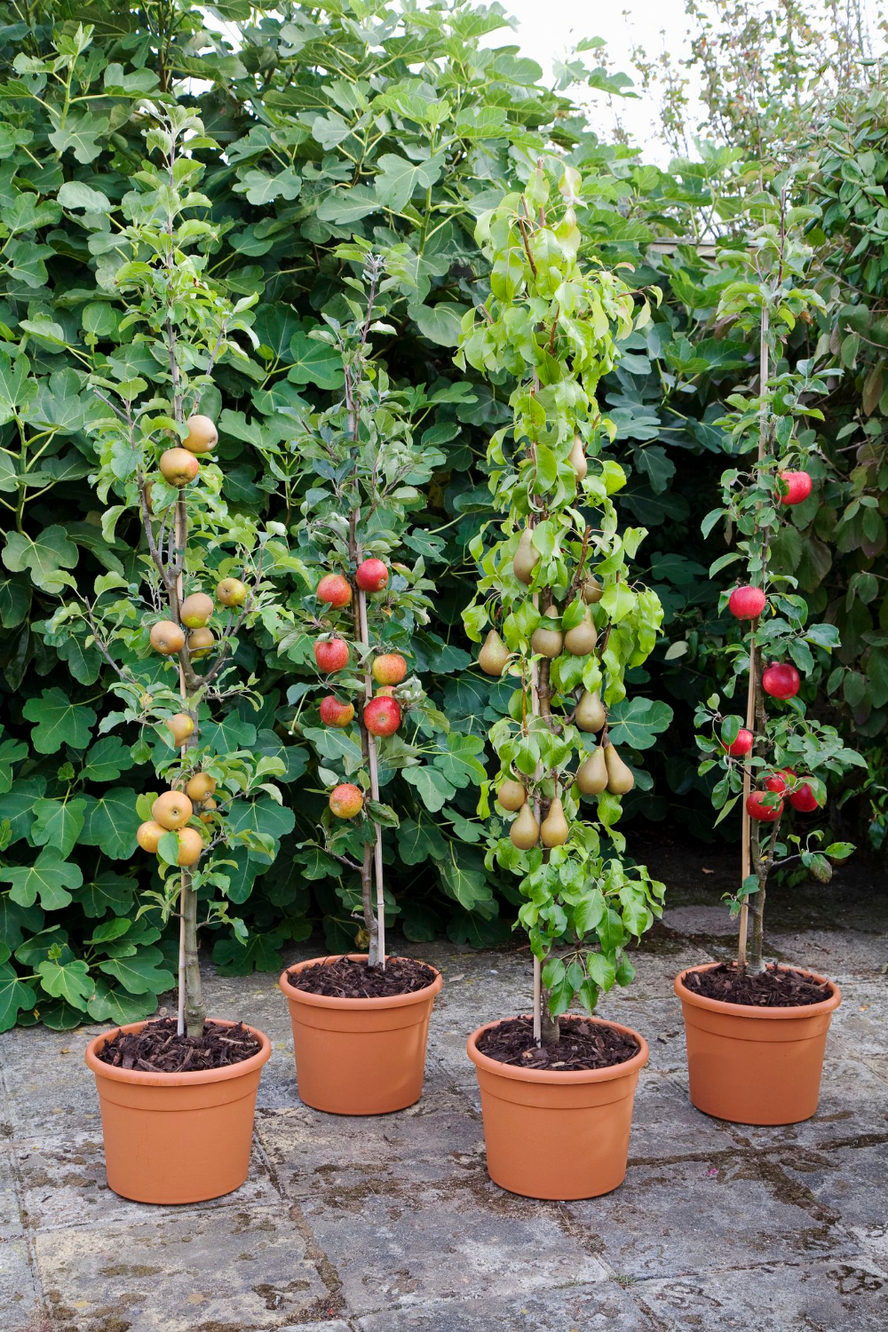 Expert Advice On Growing Fruit Trees In Containers In 2020 Dwarf Fruit Trees Fruit Tree Garden Fruit Trees In Containers