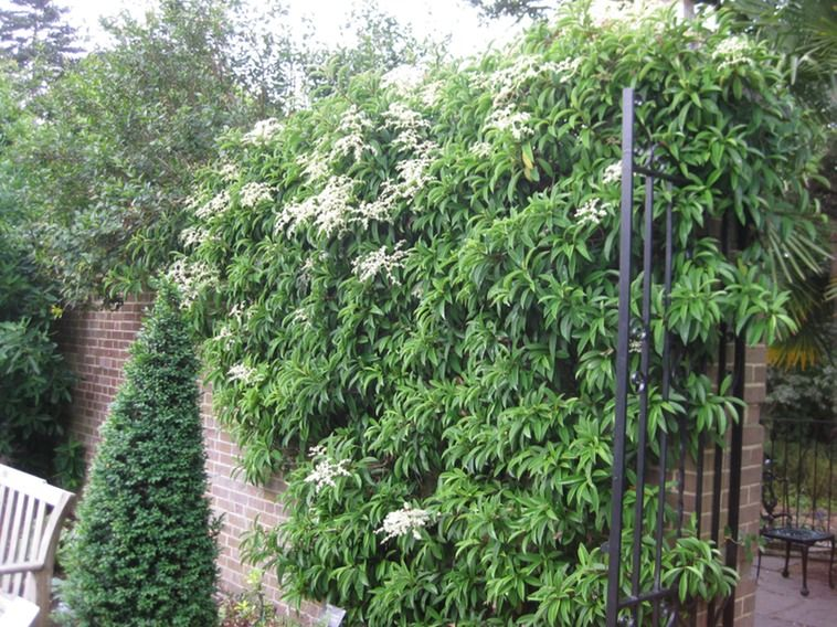 Pileostegia viburnoides Evergreen climbing hydrangea