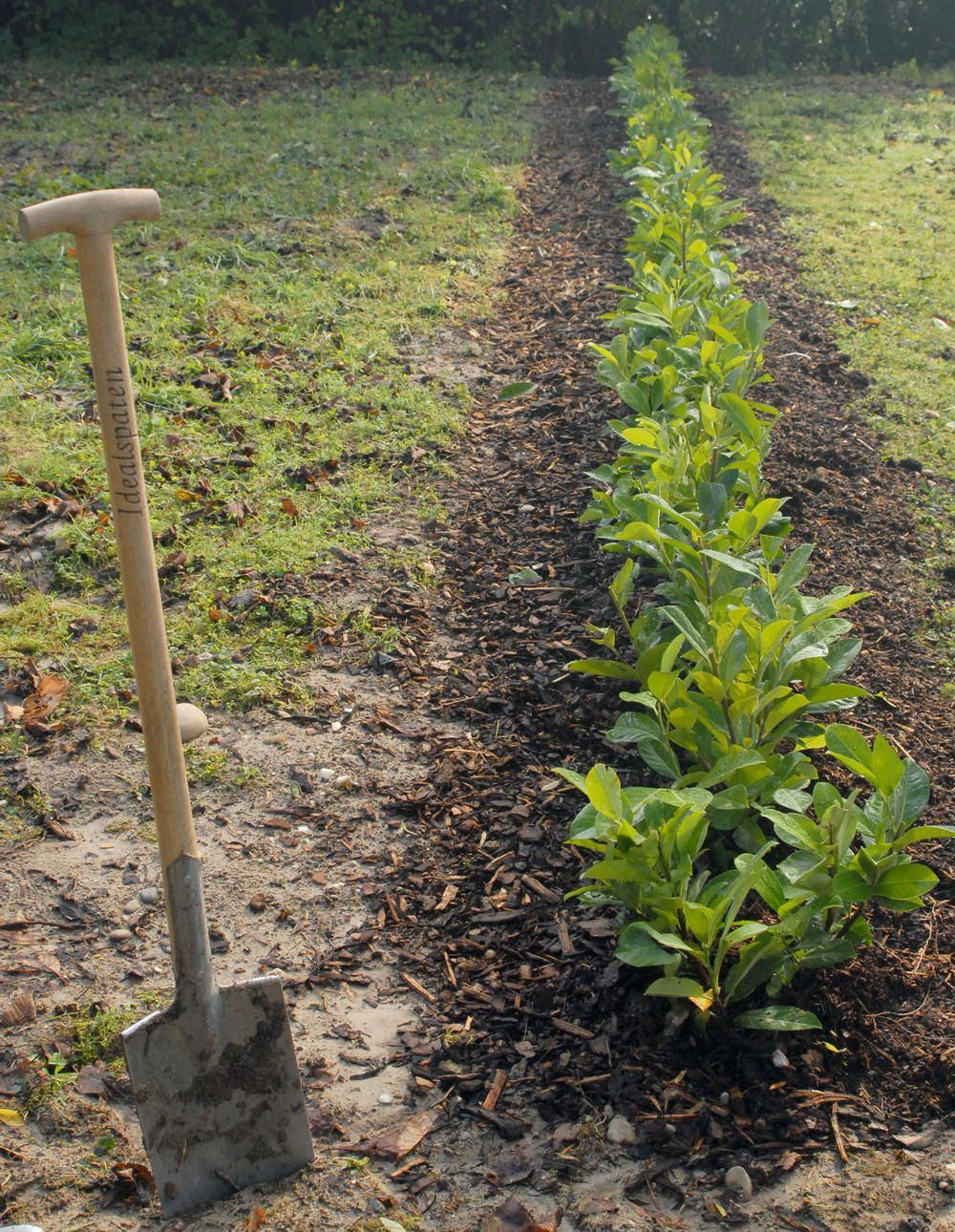 grenzabstand f r b ume str ucher und hecken beachten hecke pflanzen lorbeer hecke und
