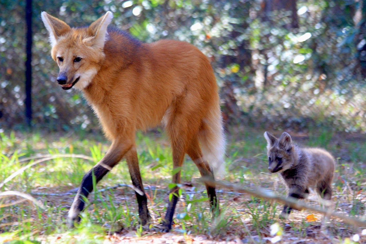 Maned Wolf Found in the grasslands of South America, this