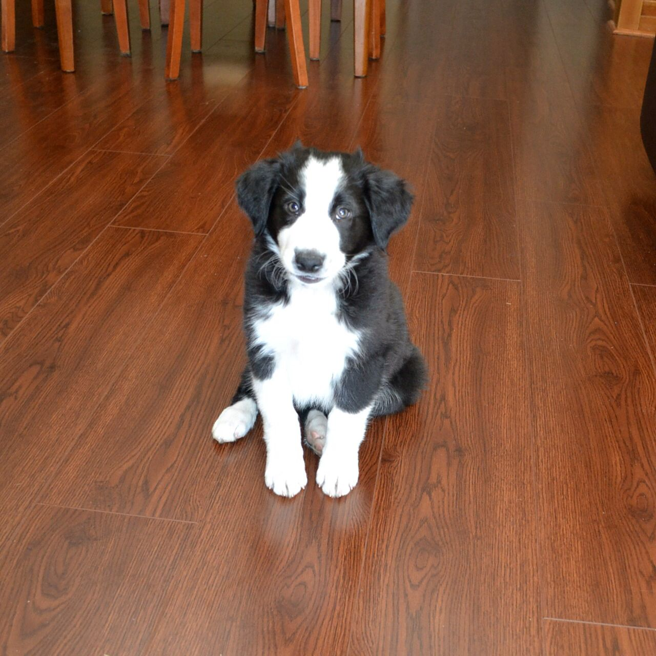 Bodie the Border Collie
