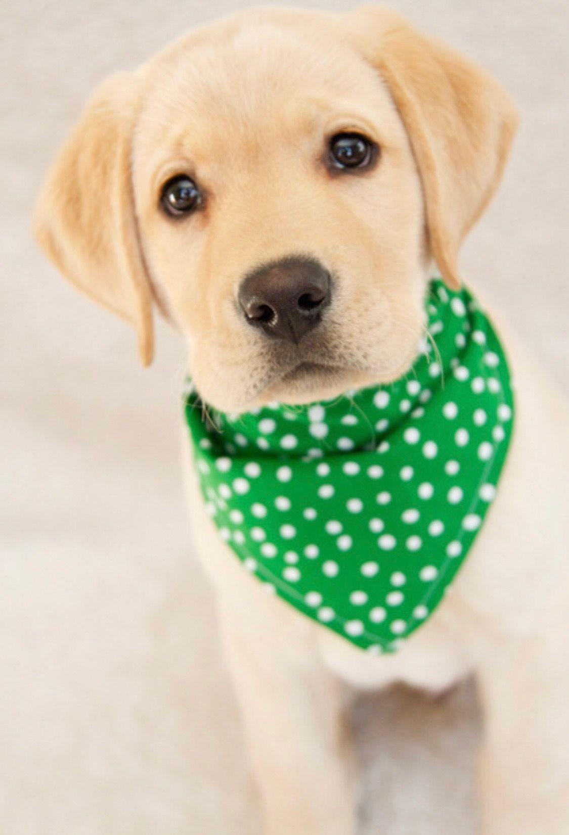 Corgi Puppies For Sale Central Florida Ideas