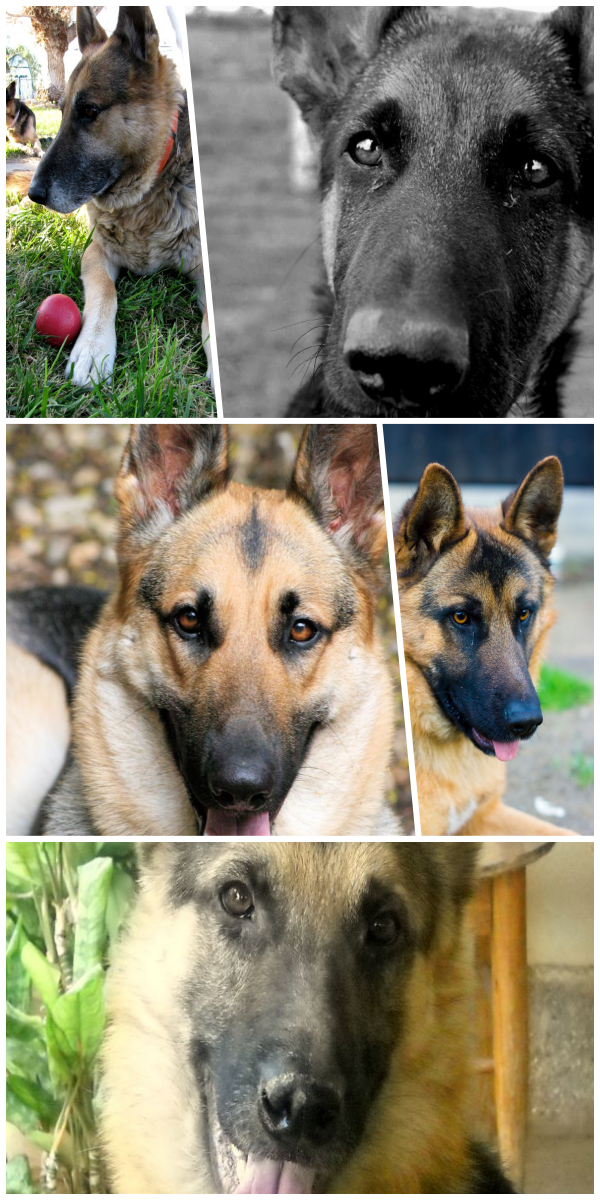 Must See German Shepherd Rescue Near Me Gsd Adoption German Shepherd German Shepard Puppies German Shepherd Dogs
