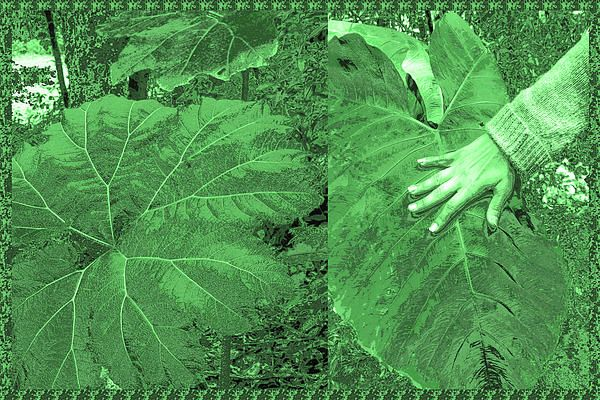 Costa Rica Wild Show Huge Leaf Plants Compare With Size Of Hand Of An Adult Placed On The Leaf Mag