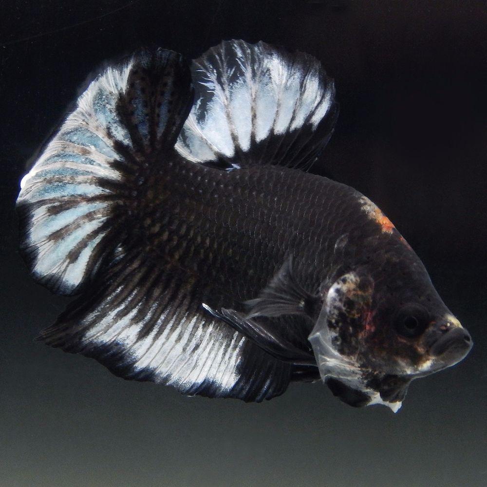 Live Betta Fish Male Black White Tancho Koi Halfmoon Plakat Betta Fish Betta Koi Betta