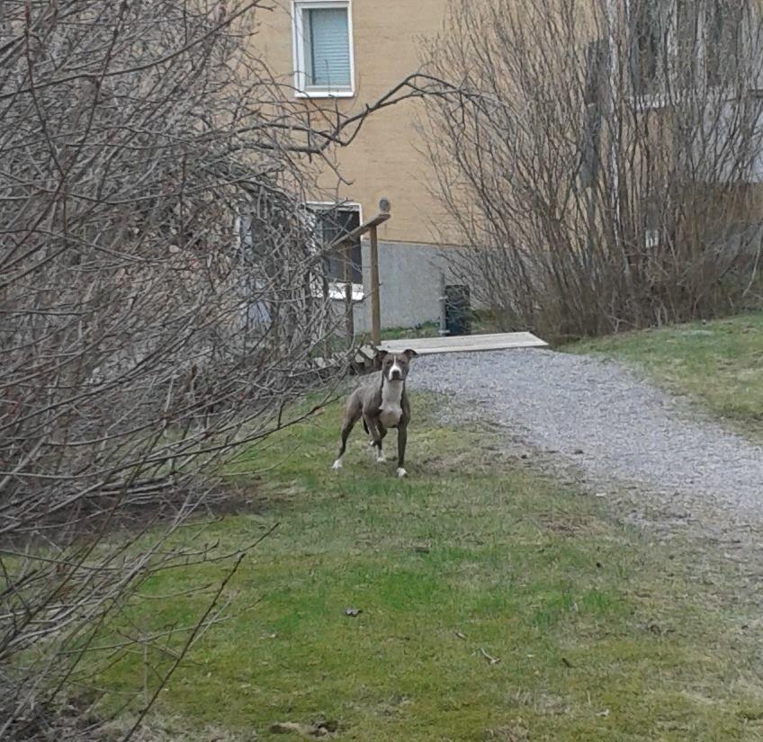 KOIRAHAVAINTO!  Tällainen tyyppi kirmaili tänään sunnuntaina klo 18 aikaan Rajametsäntie 29-31 pihalla Helsingin Maunulassa ilman pantaa. Aran oloinen, ei päästänyt muutamaa metriä lähemmäs. Puoli seitsemän aikaan, kun menin uudestaan paikalle herkkujen kanssa, koira oli jo vaihtanut maisemaa.  Pistetään jakoon ja yritetään löytää sekä koira että omistaja. — paikassa Maunula. https://www.facebook.com/photo.php?fbid=10153233387334346
