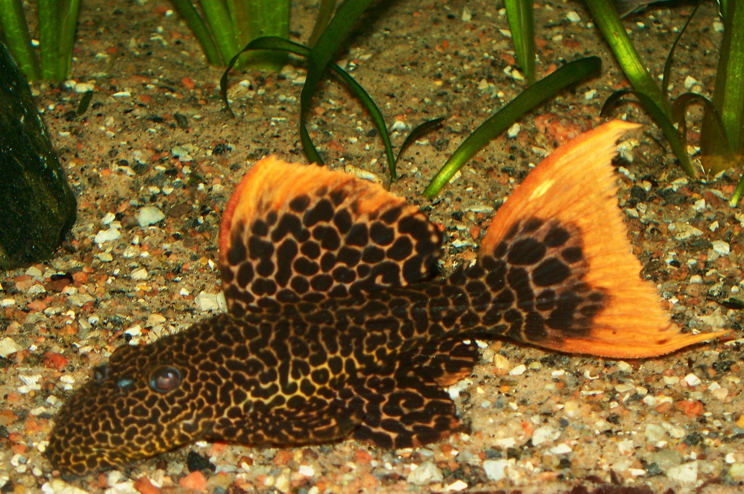 Cichlids Com L114 Redfin Leopard Pleco Tropical Freshwater Fish Aquarium Catfish Beautiful Fish