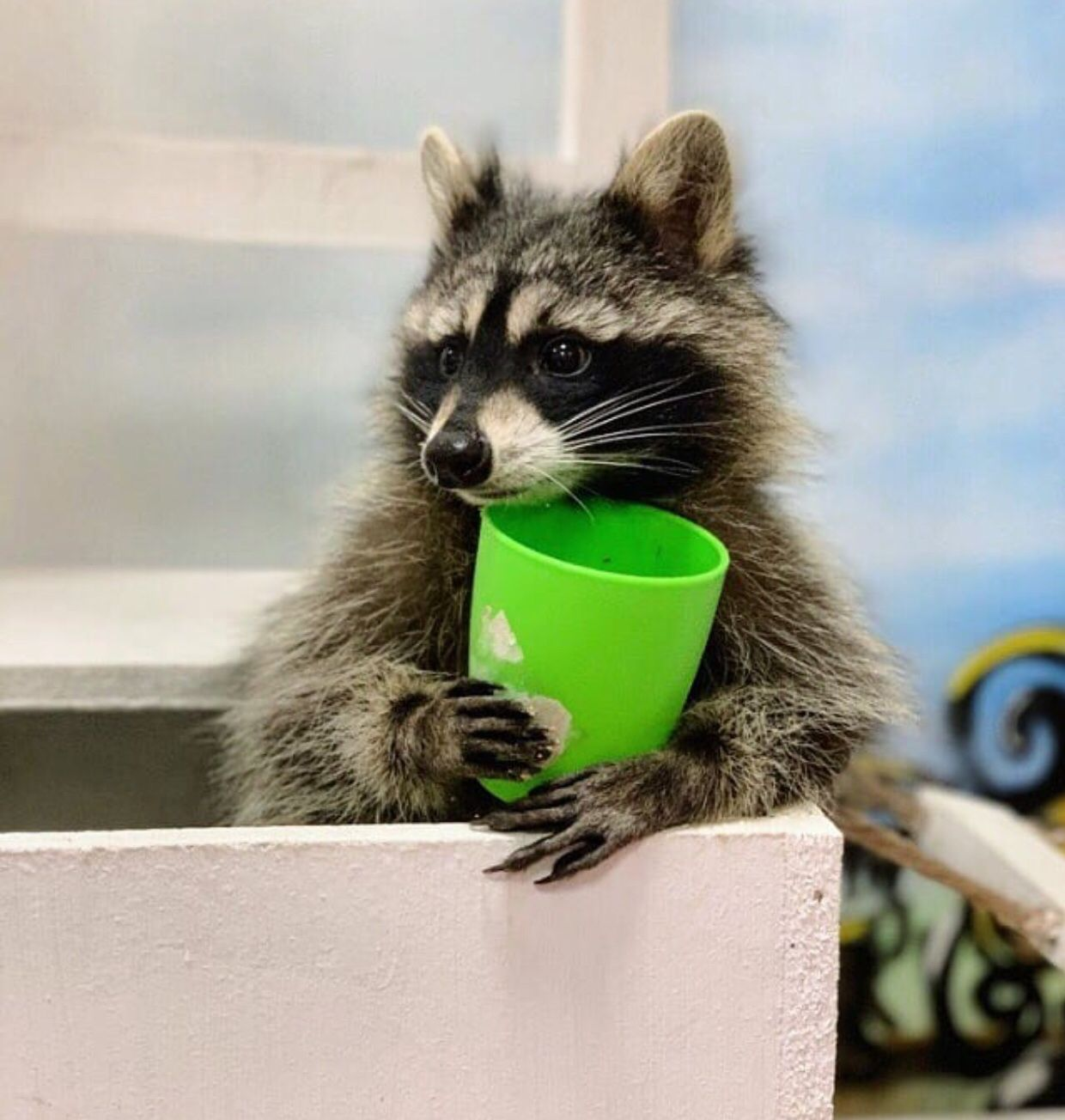 Pin by Sarah McMullan on Animals Cute raccoon, Raccoon