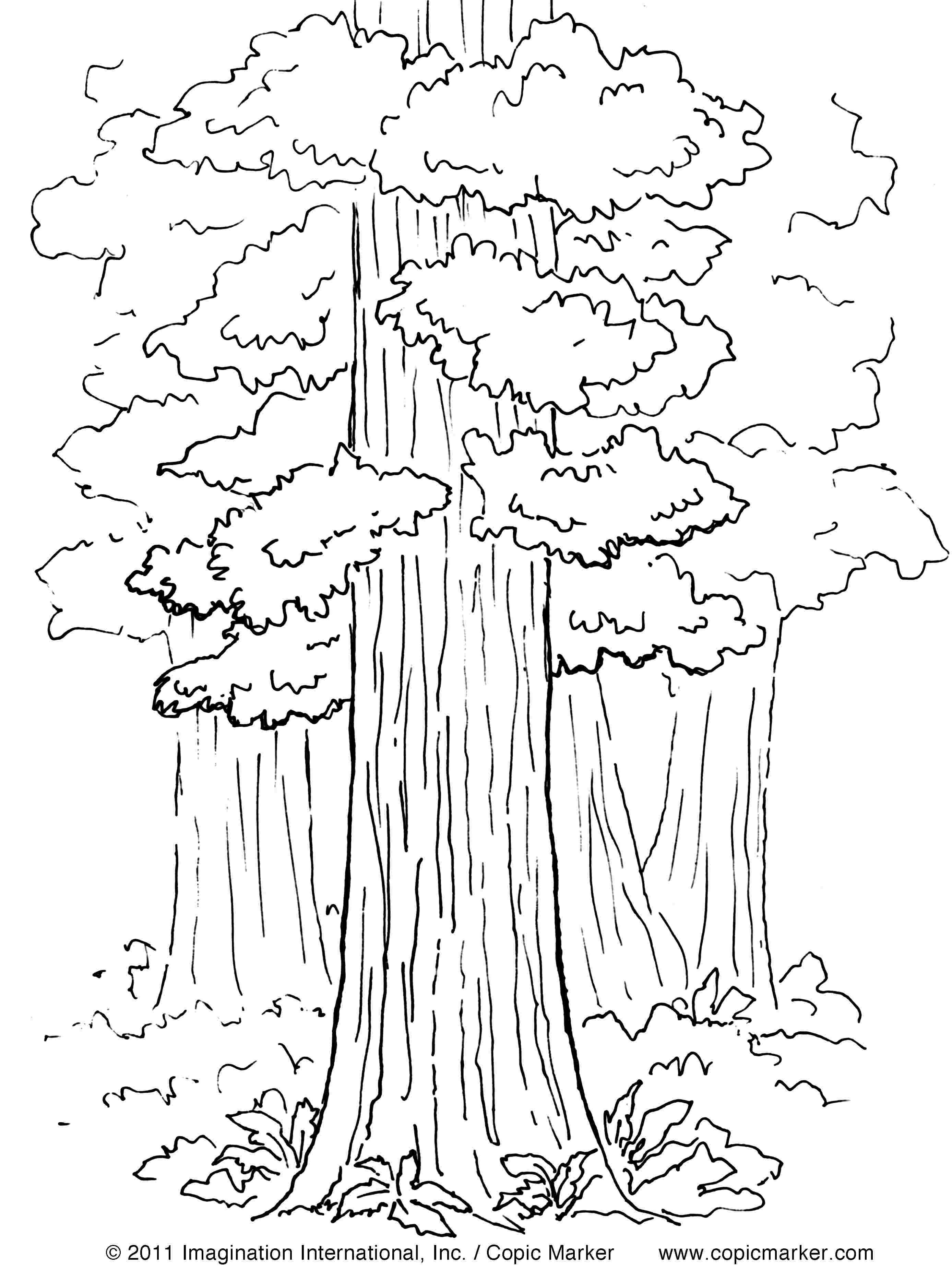 Redwood Forest Coloring Pages Sequoia Sempervirens Sɪˈkɔɪ ə Sɛmpərˈvaɪrənz Is The Sole Li Tree Coloring Page Leaf Coloring Page Coloring Pages