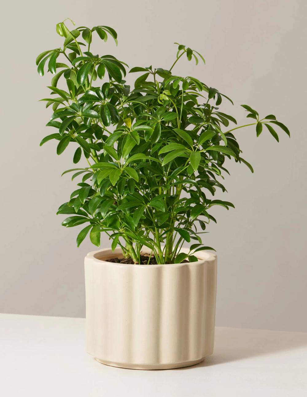 Schefflera Schefflera Plant Care Houseplant Money Tree Plant Care