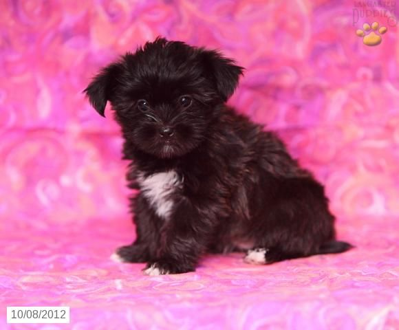 Regina Shorkie Puppy For Sale In Gap Pa Shorkie Puppy For