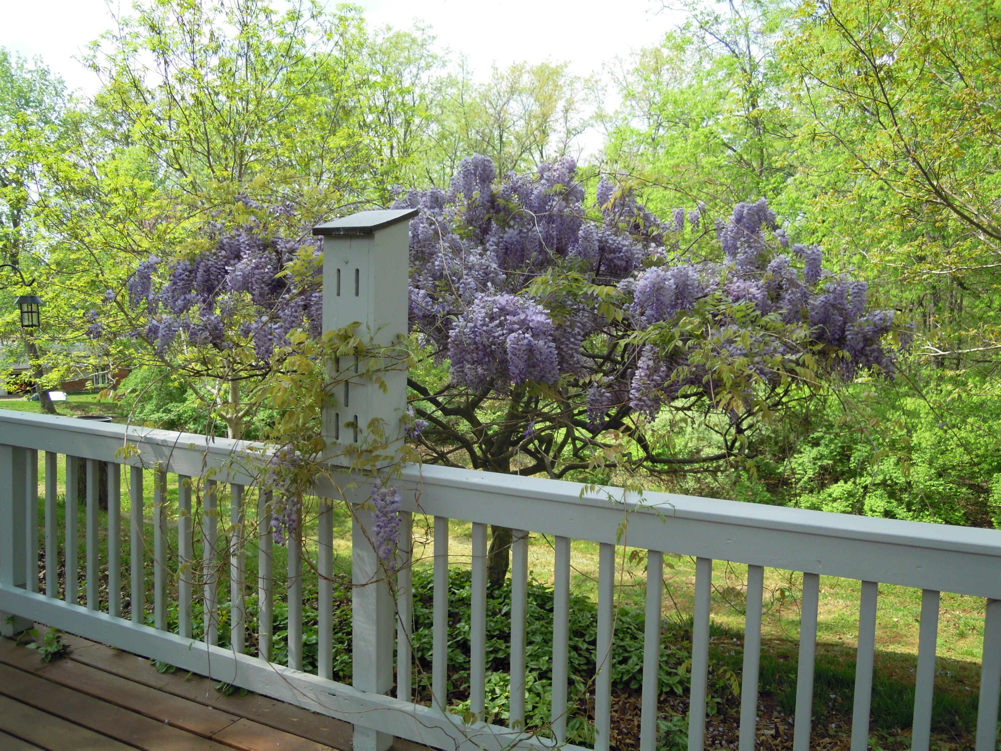 gorgeous wisteria tree in the backyard 493 hillbrook pinterest