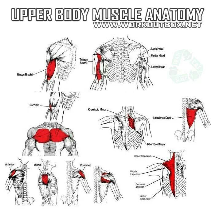 Upper Body Muscle Anatomy Anatomy Of Muscles Pinterest Muscle