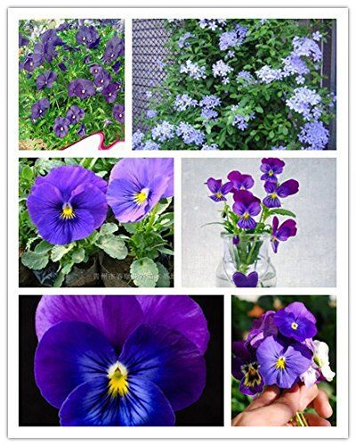 Seeds Market Rare Rain Apricot Pear As A Cloud 30 Small Flower Pansy Flower Seeds Surrounded By Blossoming Pansies Flowers Flower Seeds Small Flowers
