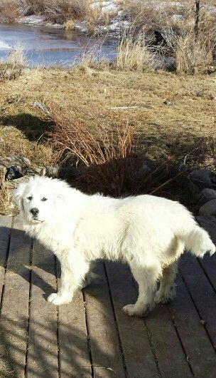 Nanuk Beautiful 6 Month Old Great Pyrenees Puppy Great