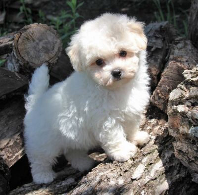 This Is Alvin He Is A Male Cream Maltipoo Maltipoo Puppy Dog