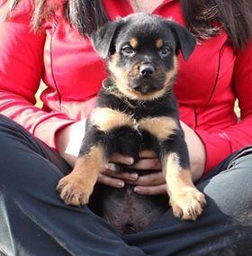 Litter Of 9 Rottweiler Puppies For Sale In Aberdeen Md Adn