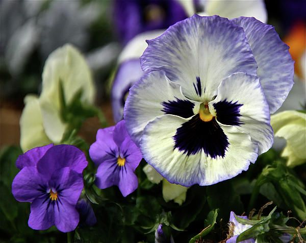 Wild Pansy Emergence Gracefulness Uninhibited Pansies Flowers Pansies Flower Essences