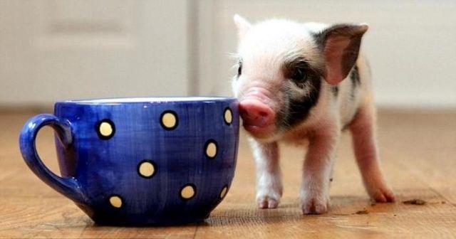 Teacup Pigs For Sale Teacup Pigs For Sale In Canada Teacup Pigs