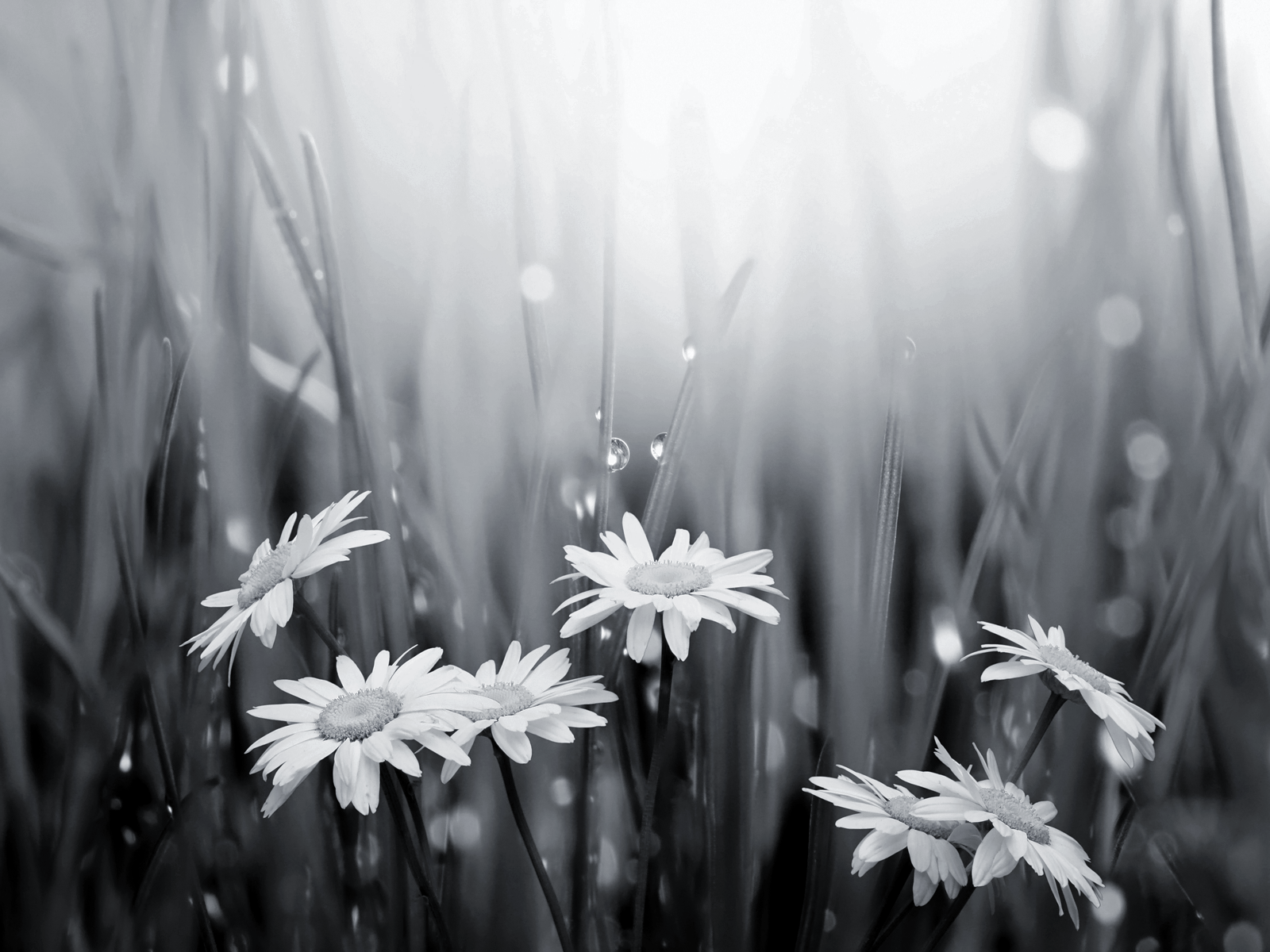 black and white daisies and raindrops wallpaper happy 300th to david hume - Black And White Flowers