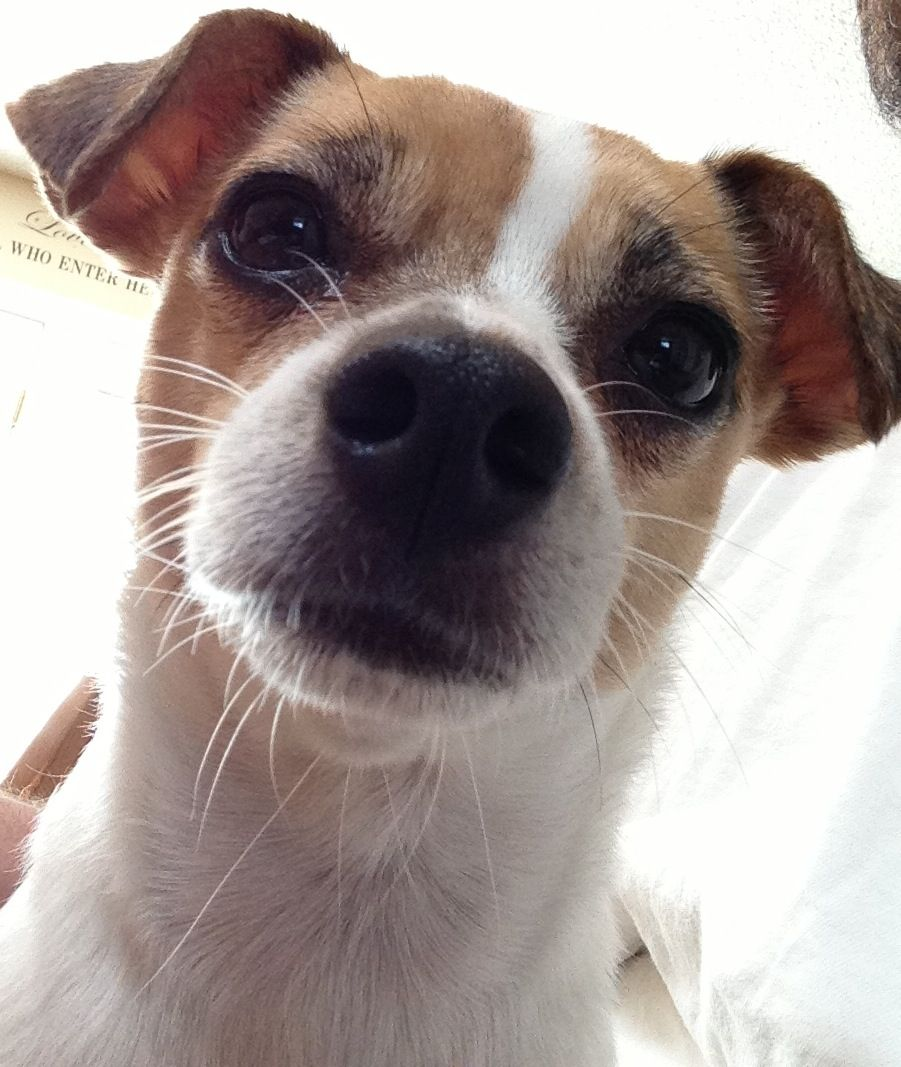 Miss Dolly Barkon Jack Russell Chihuahua Mix Jack Russell