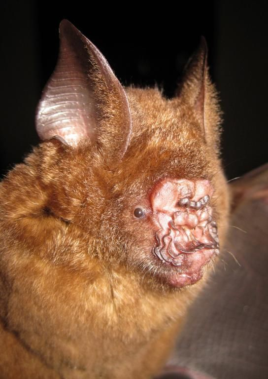 Griffins leaf-nosed bat which is among new species discoveries in the Greater Mekong region