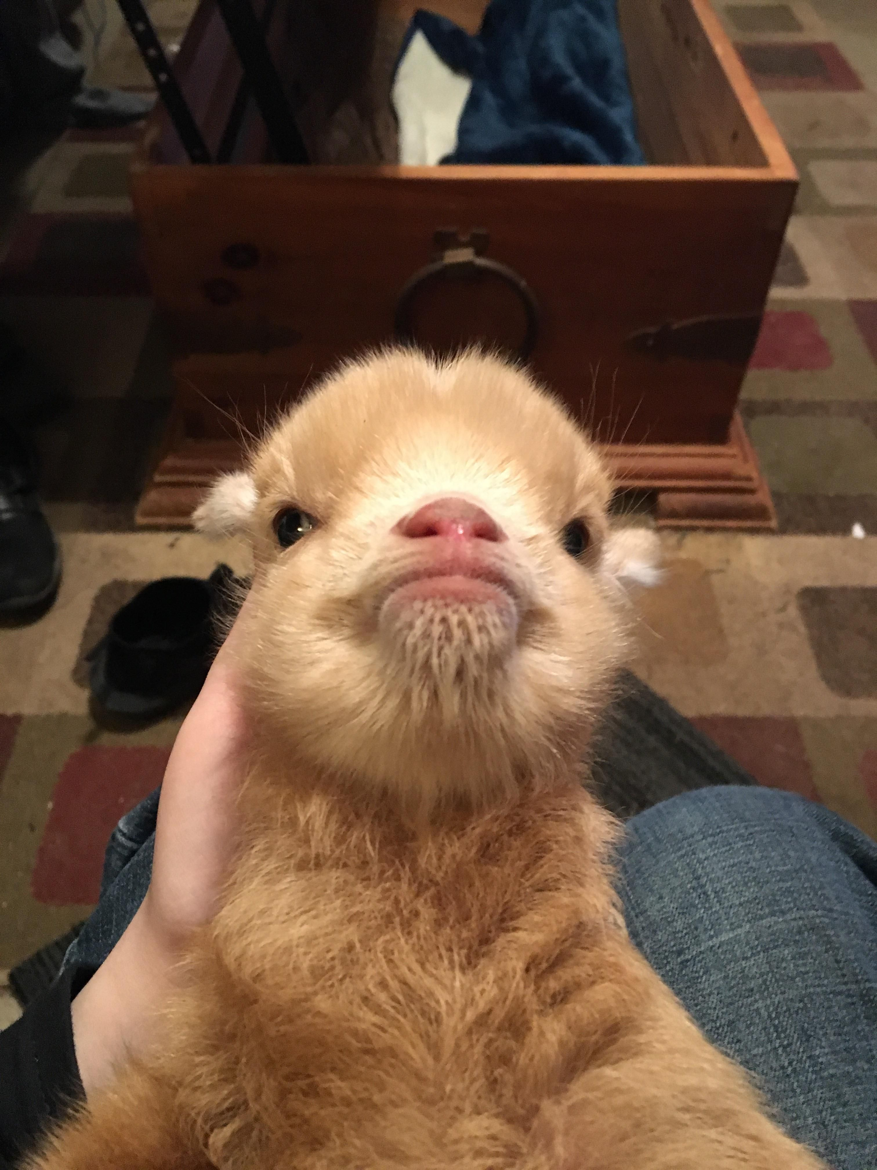 Goat with Down syndrome aww cute animals cats dogs