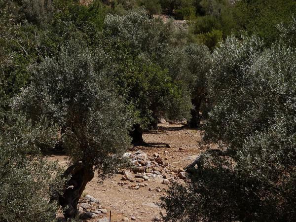 die besten 25 olivenbaum berwintern ideen auf pinterest olivenbaum pflege hibiskus im topf. Black Bedroom Furniture Sets. Home Design Ideas