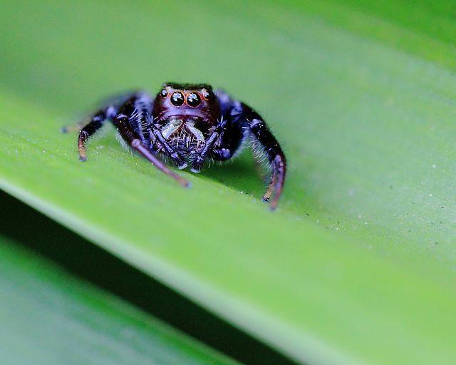Jumping Spider, via Flickr.