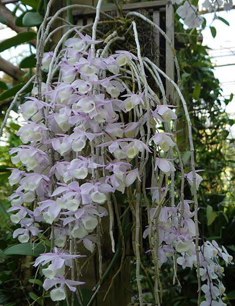 dendrobium aphyllum grows in india myanmar thailand and south china at 200 to 1800 m in. Black Bedroom Furniture Sets. Home Design Ideas