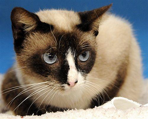 Houston, TX Siamese. Meet Indigo a Pet for Adoption. in
