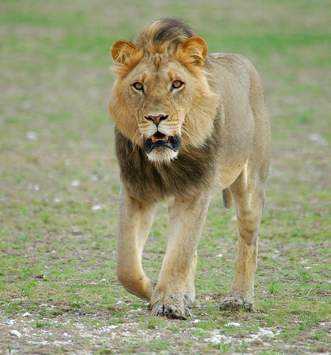 Lion (Pantera Leo): Lions Are The Largest Of Africa's Cat