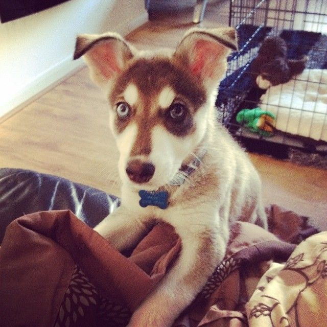 This is my guilty look  #guilty #whoditit #notme #innocent #mischief #chief #northerninuit #husky #germanshepherd #cross #guiltylook #woops #pup #pooch #puppy #puppies #puppiesofinstagram #dog #doggy #dogsofinstagram #dug #wolf #woof #wolfdogs #wolfdog #Padgram