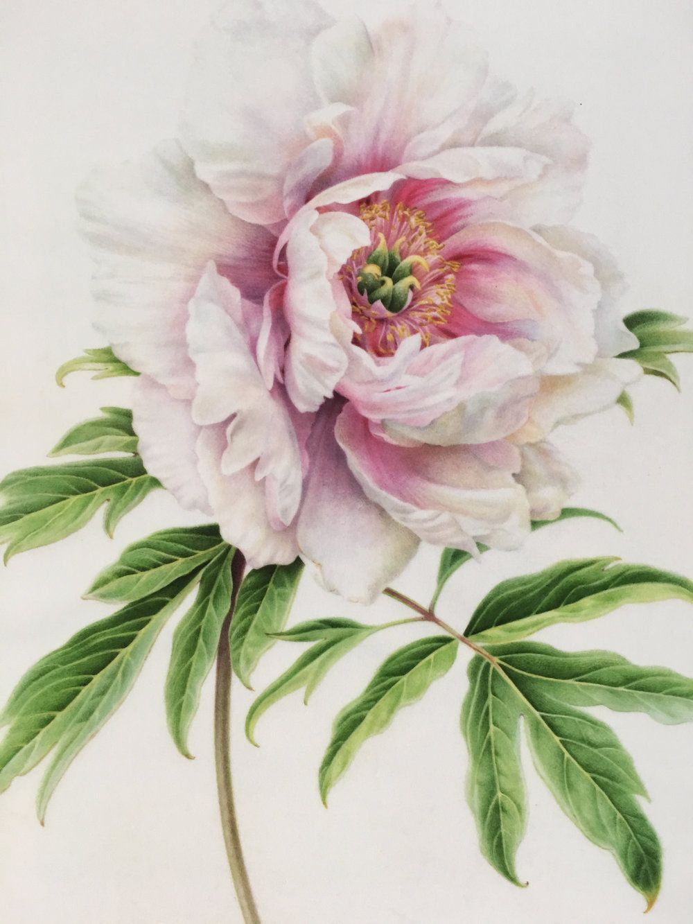 Jim S Peony Fine Art Print In 2020 Flower Art Botanical