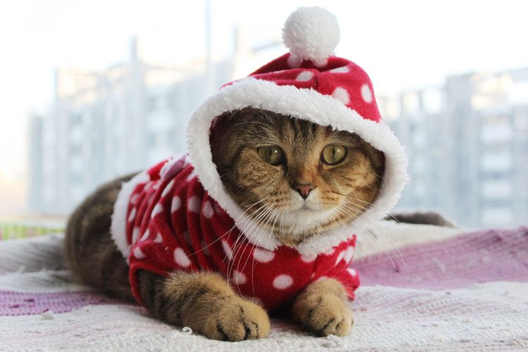 Christmas Kittens | Cute kittens wearing Christmas clothes Cute ...
