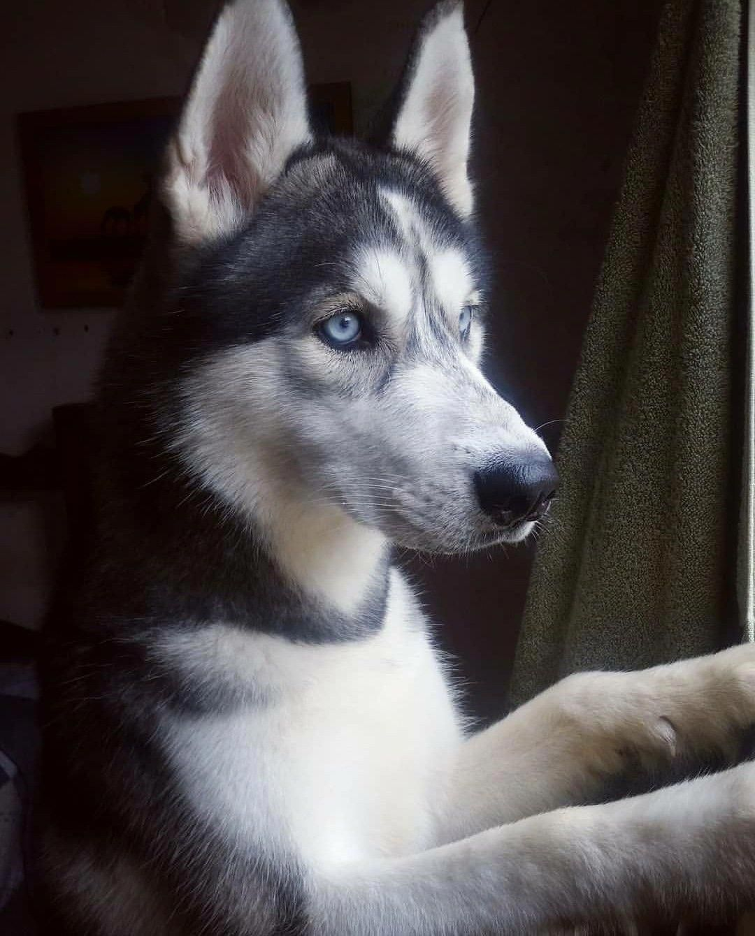 All About Siberian Husky Dogs Exercise Needs
