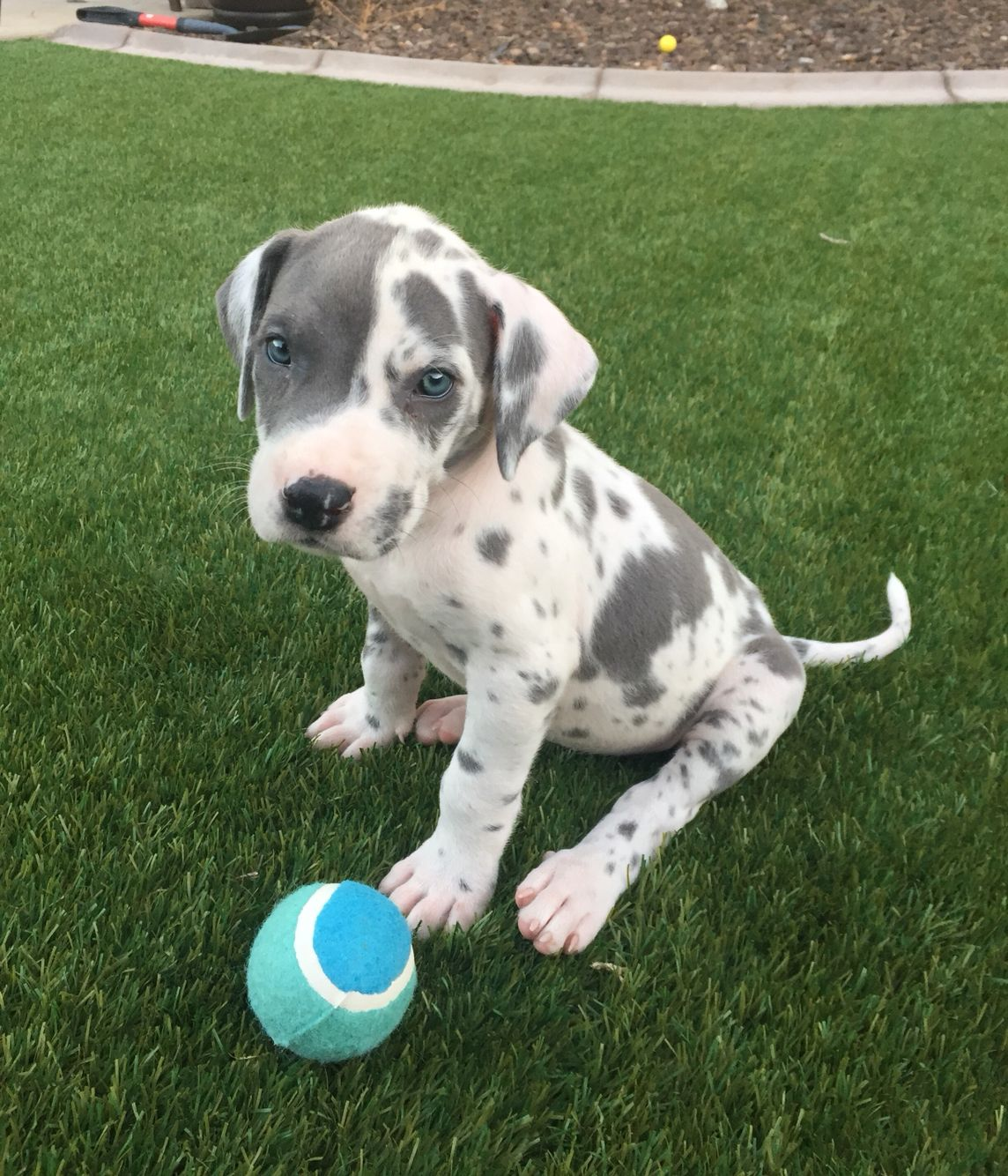 Cutest Great Dane Puppy Blue Harlequin 7weeks With Images