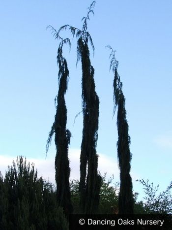 Chamaecyparis (syn. Cupressus) nootkatensis 'Van den Akker' - Alaskan Cedar - Architectural Plants - Dancing Oaks Nursery - dancingoaks.com