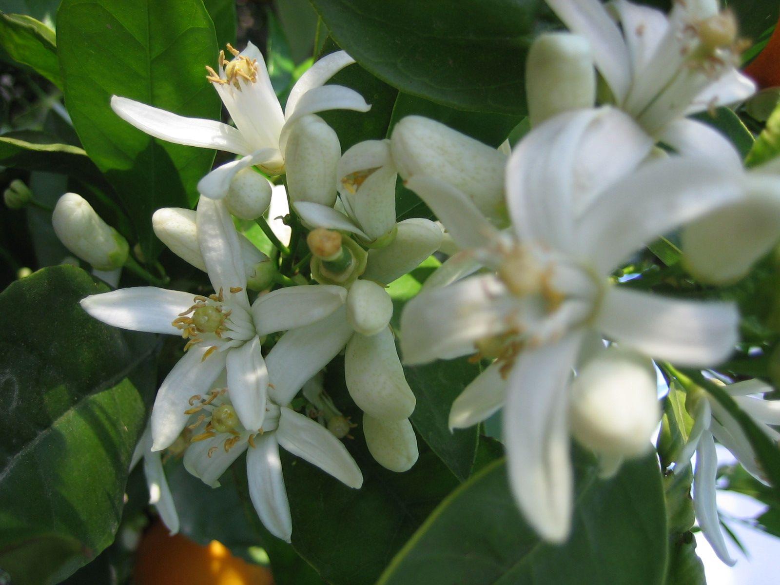 Todo Sobre Limoneros C Mo Y D Nde Plantarlos Cuidados  ~ Cuando Hay Que Abonar Los Arboles Frutales