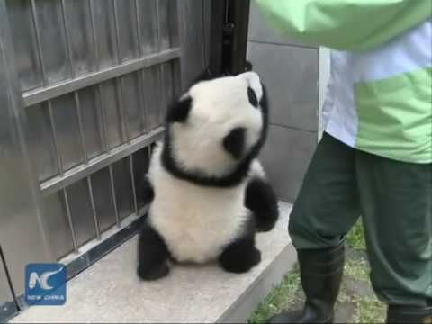 Explore the daily lives of giant panda twin cubs in Macao, south China. The sweet cubs Jianjian and Kangkang will turn 6 months old soon and meet public befo...