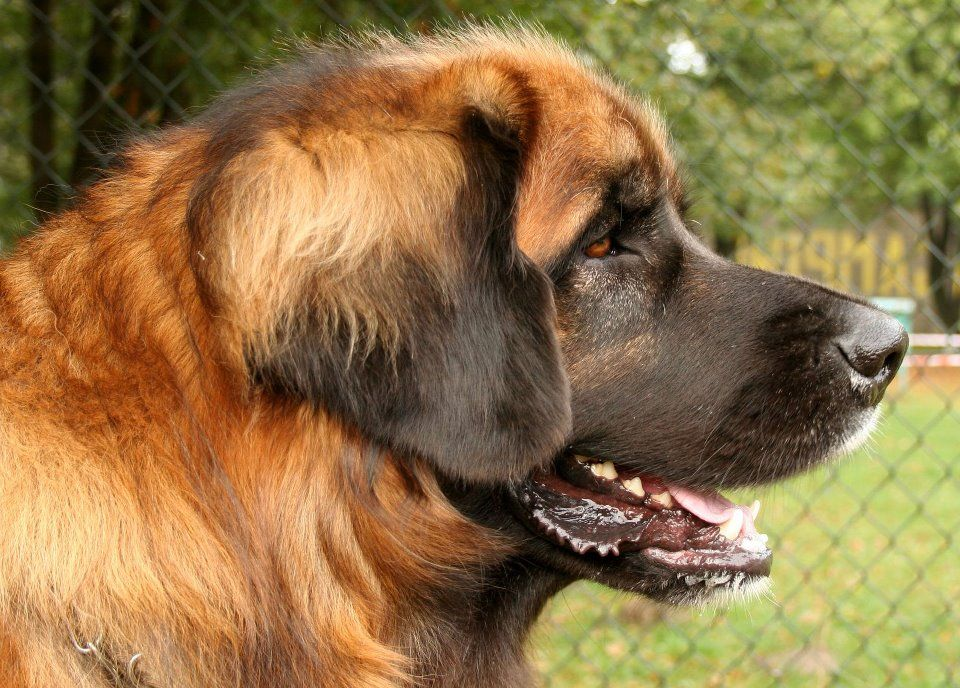 The Leonberger Is A Giant Dog Breed The Breeds Name Derives From