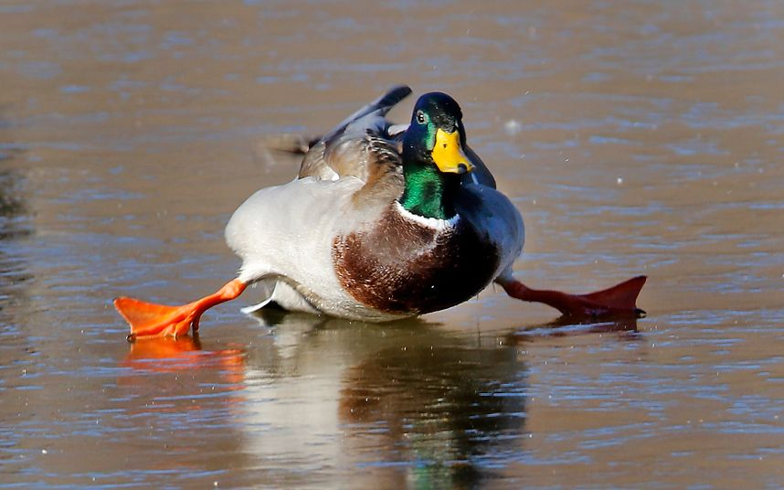 §§º§§ A mallard duck attempts to walk on a frozen pond in Yukon, Oklahoma