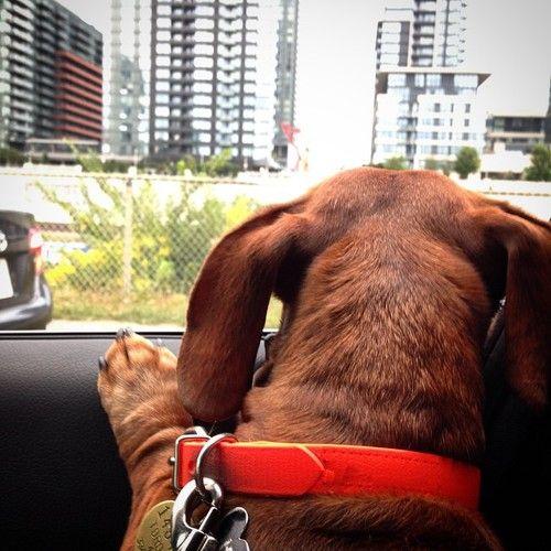 dachshundsofinstagram | Tumblr