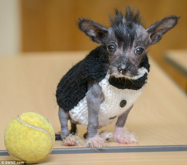 Hairless puppy wears children's SOCKS to keep warm