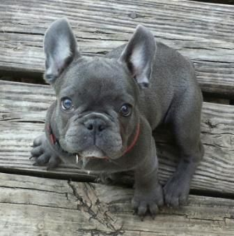Image Result For Blue Pied French Bulldog French Bulldog Blue