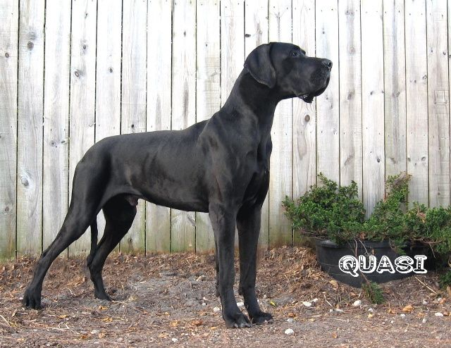 Willowrun Great Danes Dream Home Black Great Danes Dogs Und Pup