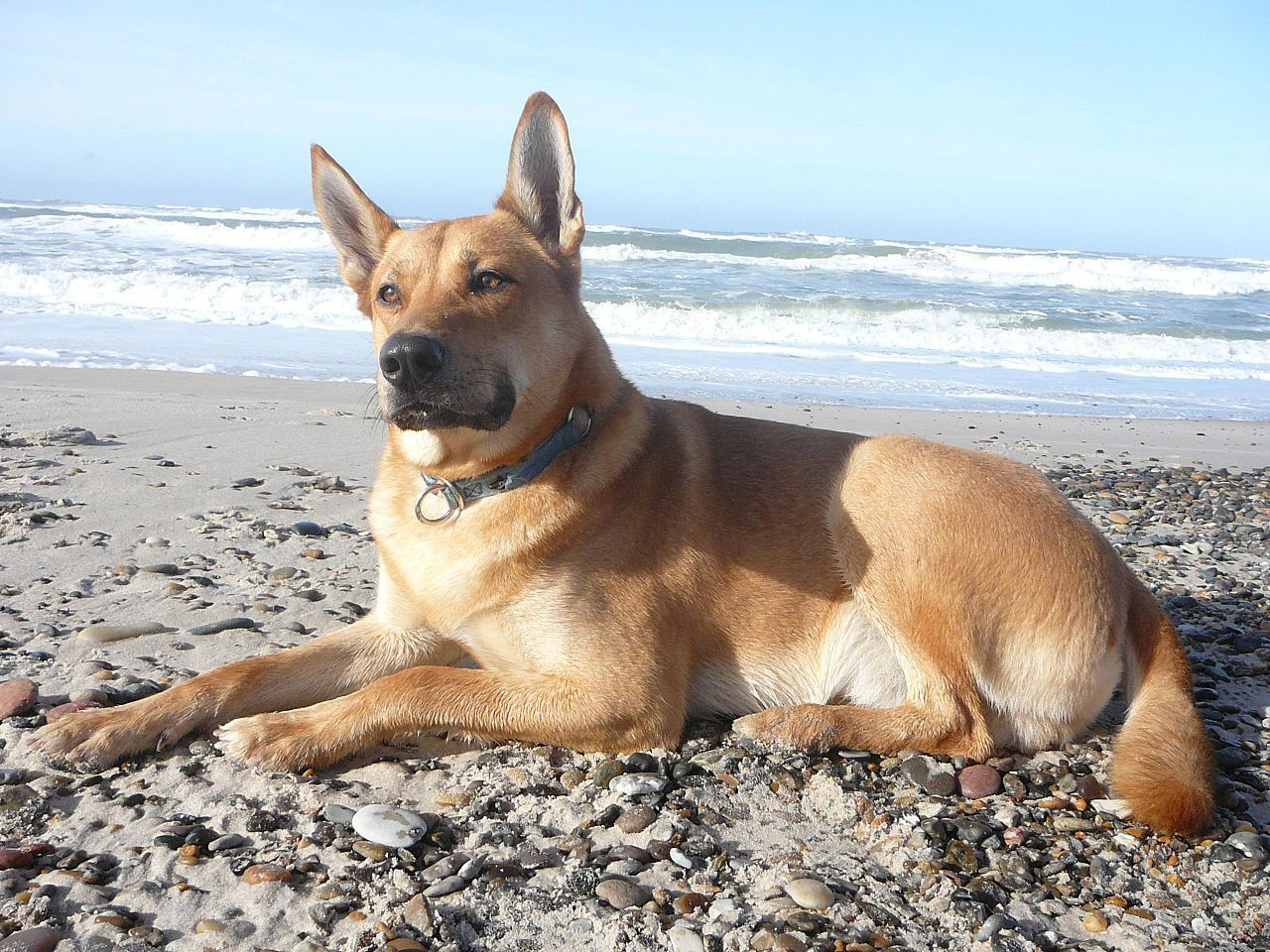 One Day I Will Have Another Carolina Dog From Your Friends At