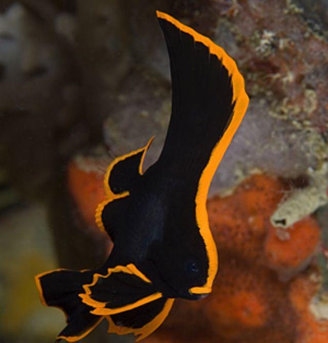 Batfish Marine Fish Ocean Creatures Sea Creatures